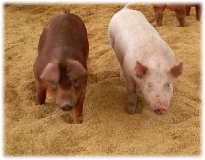 豚 ped(豚流行性下痢)とは?人間に感染するの?