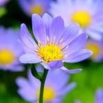 春菊という名前の由来は?花も食べれるの?