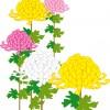 重陽の節句の花である菊とその由来について!2015年はいつ?