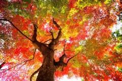 紅葉する植物の種類をまとめました。紅葉名所や街路樹に多い種類は?