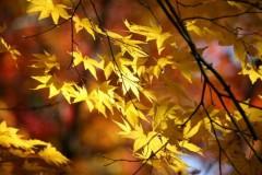 紅葉の色の変化の仕組みと色の違いの理由は?紅葉の色は何種類ある?