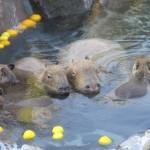 動物と温泉の話題!温泉に入る動物の種類、見れる場所、民話など。