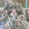 大寒の日犬山、日本モンキーセンターで猿の焚き火、猿団子を見よう!