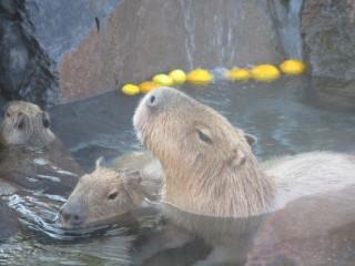 カピバラの温泉を見に行こう!【全国カピバラ温泉全23スポット!】