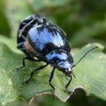 ハムシの駆除方法と事前対策!成虫、幼虫の違いは?